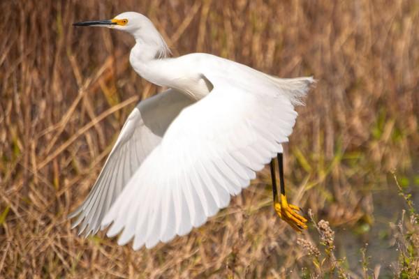 A Snowy Egret takes flight at Paynes Prairie