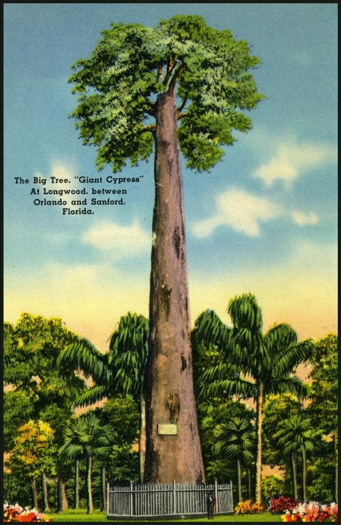 Vintage postcard showing the Senator Cypress tree in Seminole County