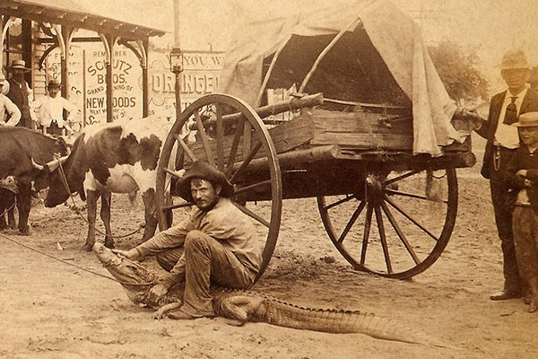 Alligator wrestler in downtown Orlando in front of a wagon with several cows in the background